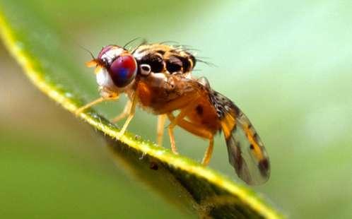 Study reveals Mediterranean fruit fly's genetic code