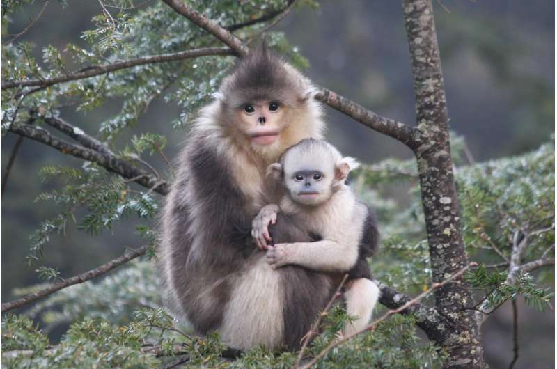 New study reveals adaptations for snub-nosed monkeys