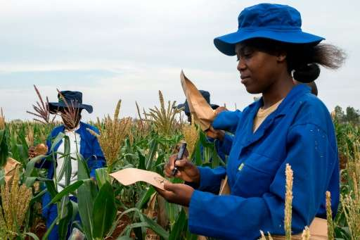 Plant breeders pollinate male and female plants in a plot of a heat-tolerant hybrid maize growing at the Chiredzi Research Stati