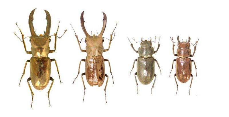 Unraveling the genes for sexual traits in stag beetles