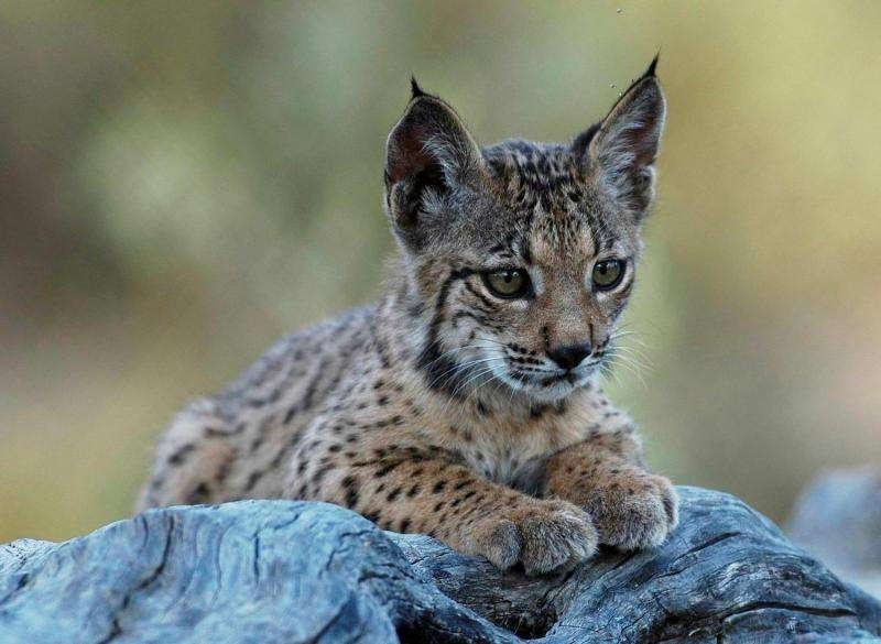World's most endangered cat grows to over 400 individuals