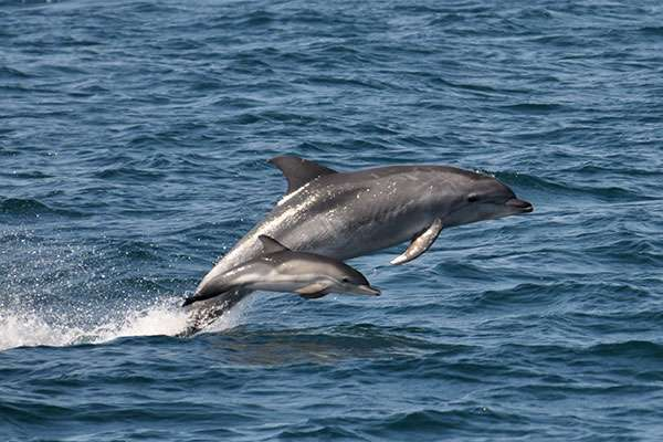 Researchers probing the beneficial secrets in dolphins' proteins