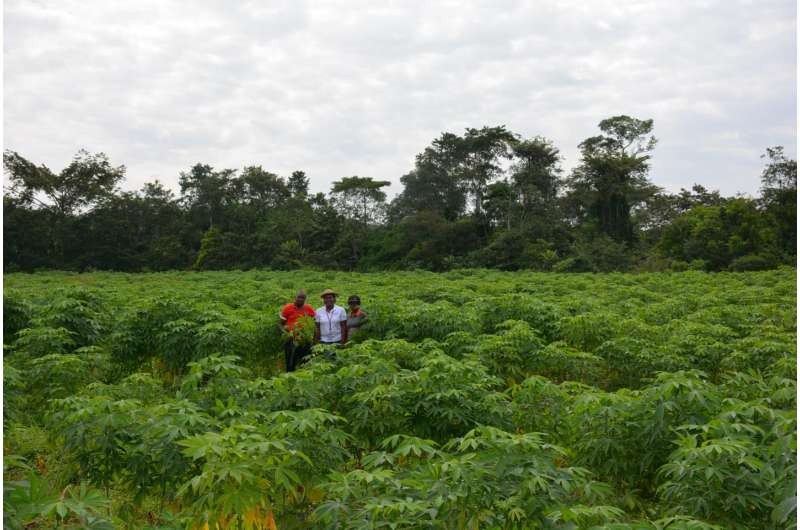 Researchers root for more cassava research