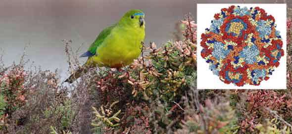 Breakthrough on virus infecting rare and endangered parrots