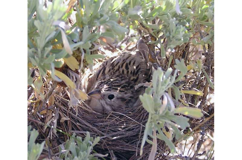 Researcher studies increased predation of sagebrush songbirds in natural gas fields