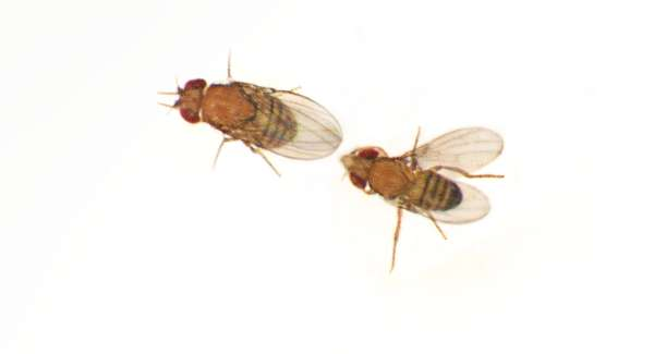 Researchers identify a gene that causes male Drosophila to produce different courtship songs