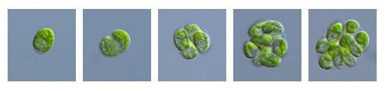Discovery of cellular counting mechanism used for size control in algae with links to cancer genetics