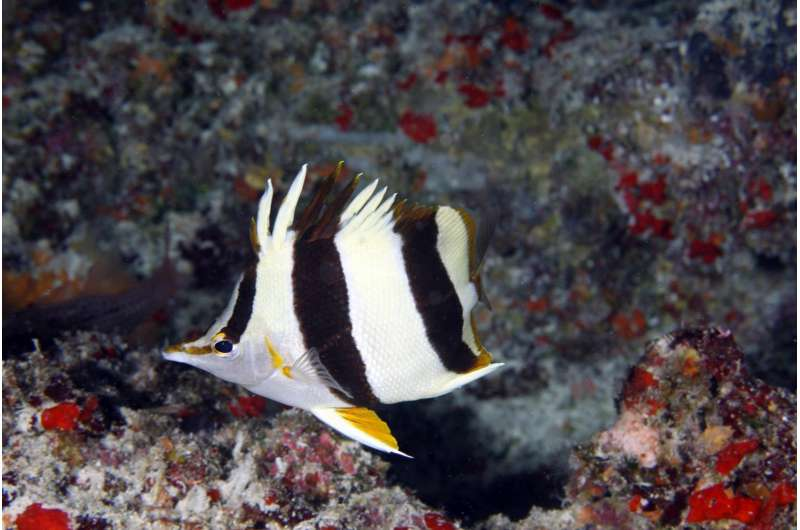 Scientists discover a new deep-reef Butterflyfish species in Papahānaumokuākea Monument