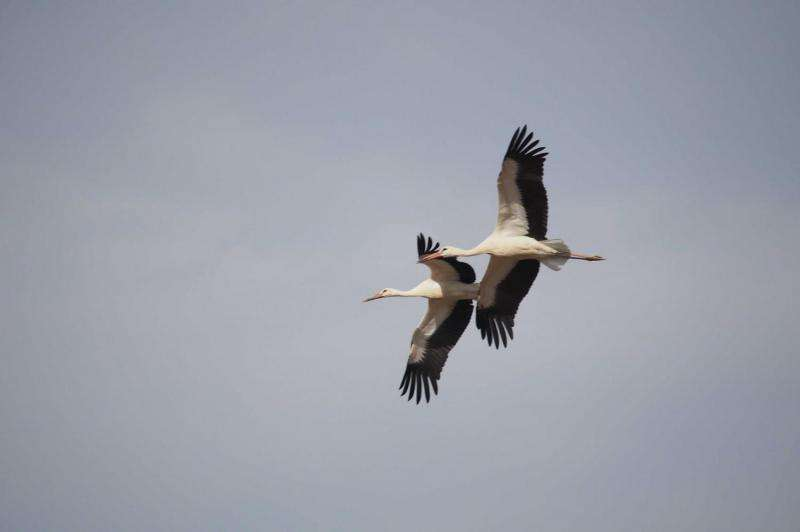 White storks found to be altering migration patterns due to human environmental changes