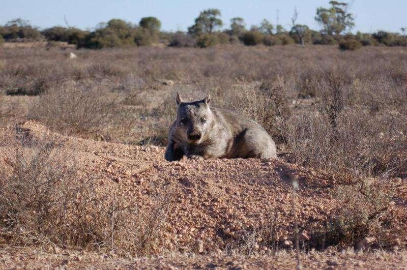 Radar reveals the hidden secrets of wombat warrens