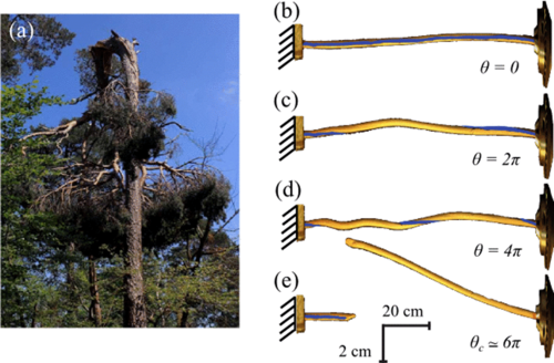 Trees found to break a near the same wind speed regardless of size or species