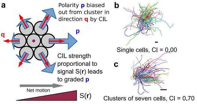 Model simulates chemotaxis with clusters of eukaryotic cells