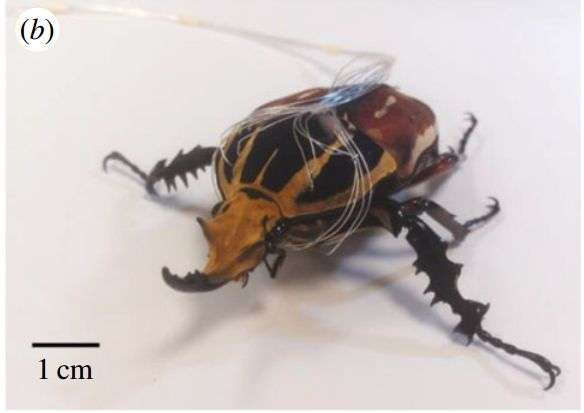 Researchers take next step with cyborg beetles – controlling their gait