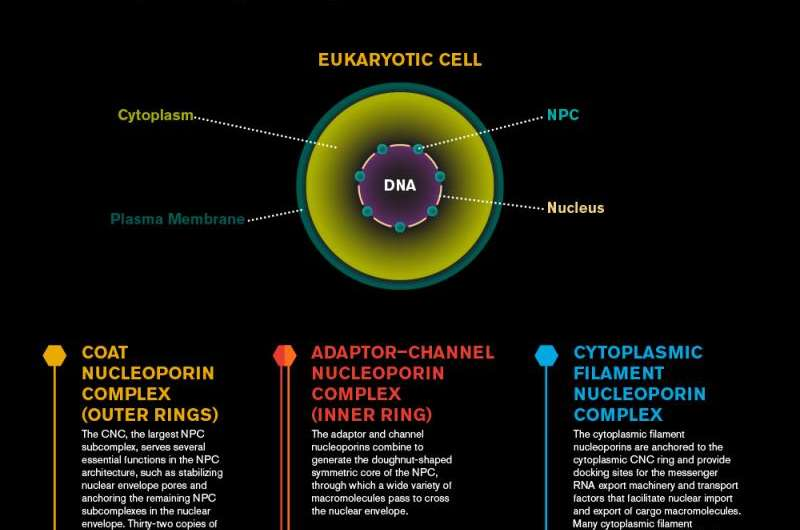 Biochemists solve the structure of cell's DNA gatekeeper