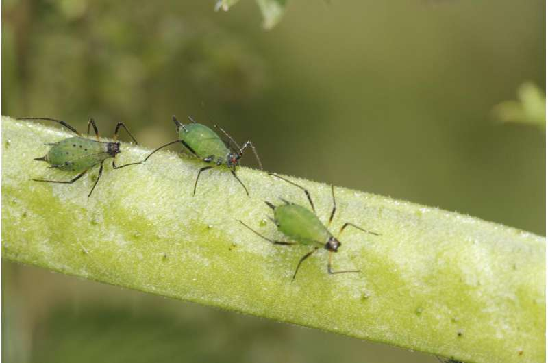 A trick of the light may help diseased plants attract greenfly