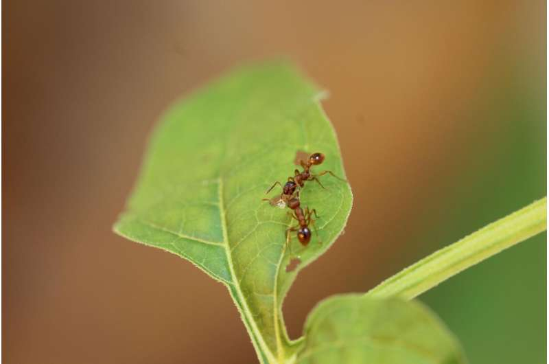 Nightshade plant found to produce sweet nectar in wounds to attract ants that ward off herbivores