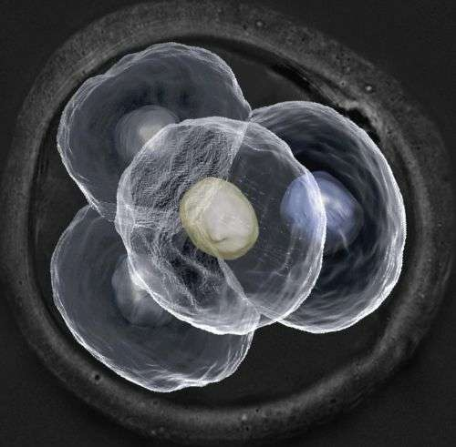 Real-time imaging of embryo development could pave the way for more effective human reproduction therapies