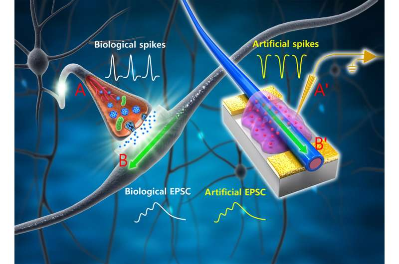 Researchers create organic nanowire synaptic transistors that emulate the working principles of biological synapses