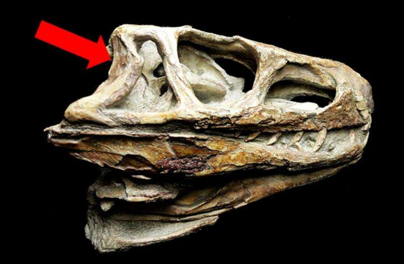 Computed-tomography scans of a 245 million-year-old fossil shed light on the evolution of the inner ear of birds and crocodiles