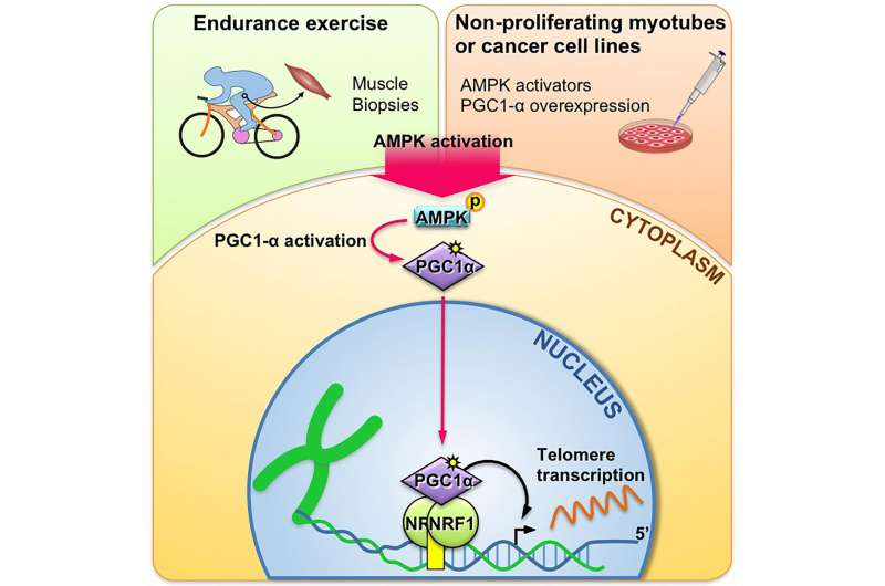 Endurance exercises might play role in regulating telomere transcription