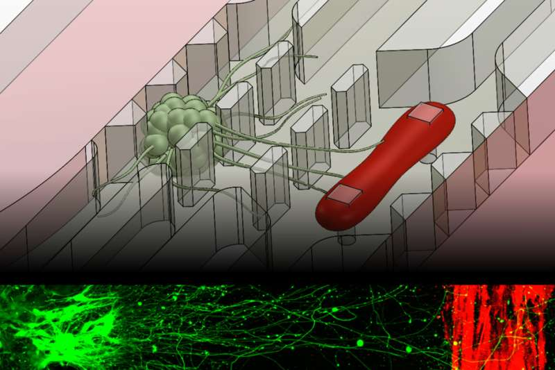 New microfluidic chip replicates muscle-nerve connection