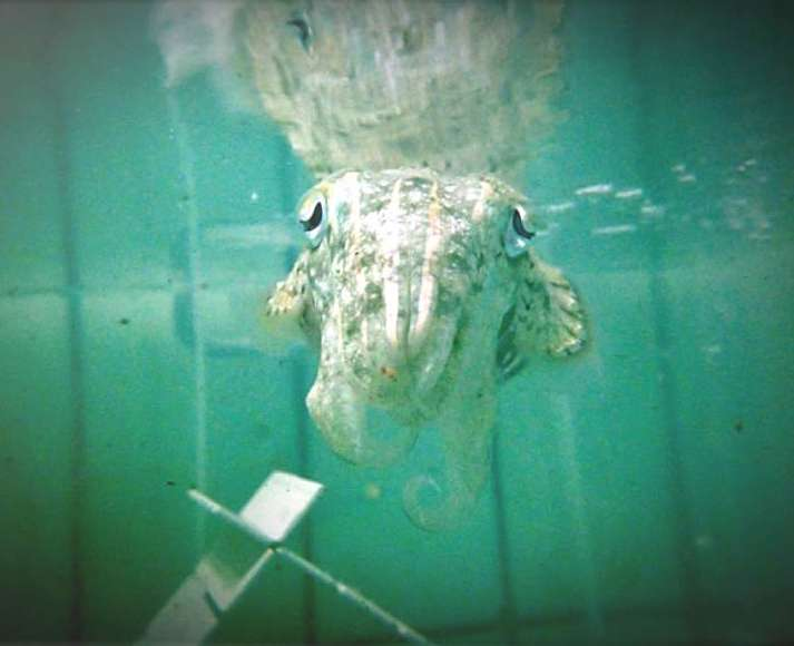 Cuttlefish found to have number sense and state-dependent valuation