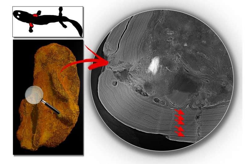 Life history of the 360-million-year-old tetrapod Acanthostega rewrites the tetrapod move on land