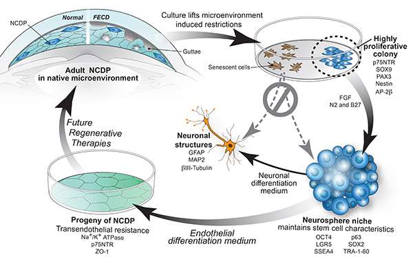 Researchers find proliferating cells in normal and diseased corneal endothelium