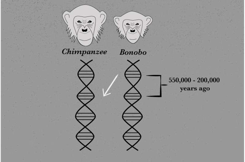 Genome sequencing reveals ancient interbreeding between chimpanzees and bonobos