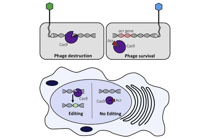 An anti-CRISPR for gene editing