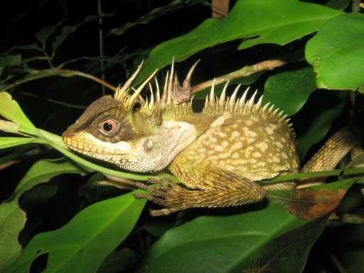 A new species of lizard called acanthosaura phuketensis in Phuket