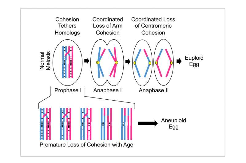 Dartmouth study: How age-related genetic anomalies contribute to the maternal age effect