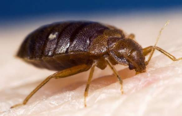 New research shows how different strains of bed bugs resist insecticides