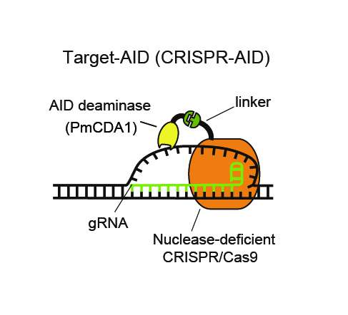 Researchers succeed in developing a genome editing technique that does not cleave DNA