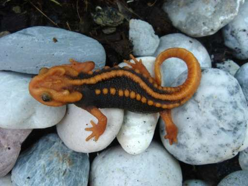 A new species of newt called the tylototriton anguliceps in Chiang Rai, Thailand