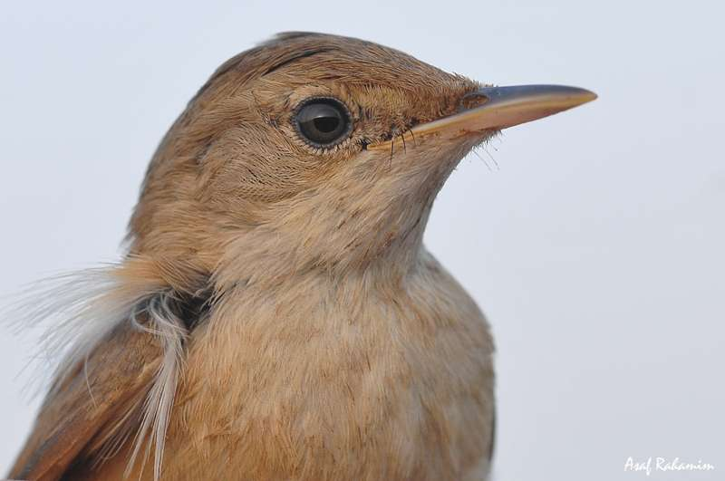 Study suggests that longer-distance migratory birds may be smarter