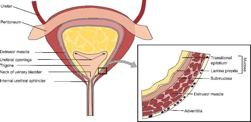 Understanding the mechanics of the urinary bladder