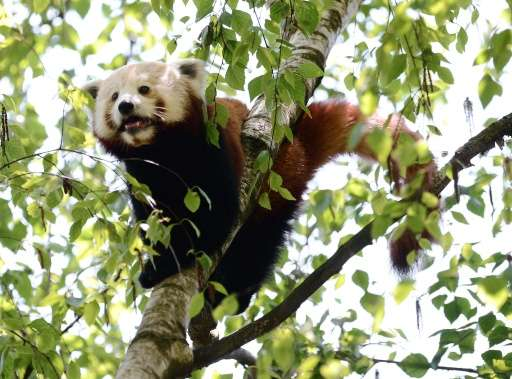According to the International Union for Conservation of Nature (IUCN) red list of threatened species, the red panda is only fou