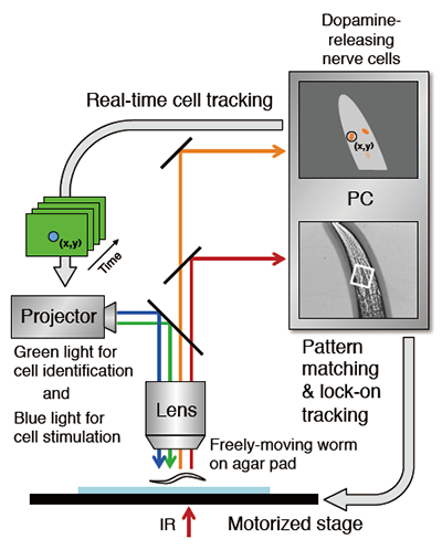 Activity of nerve cell in freely moving animal analyzed by new robot microscope system