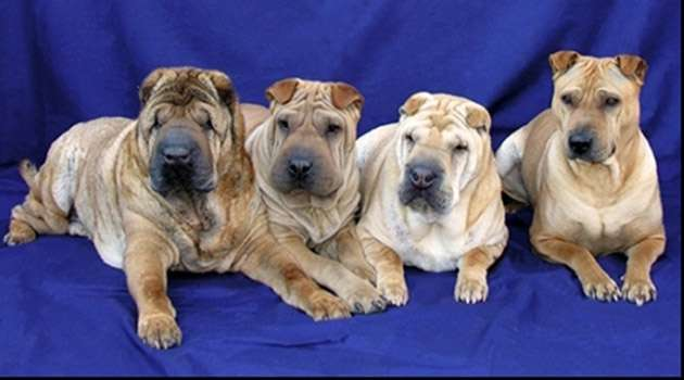 A genetic test for Shar-pei autoinflammatory disease