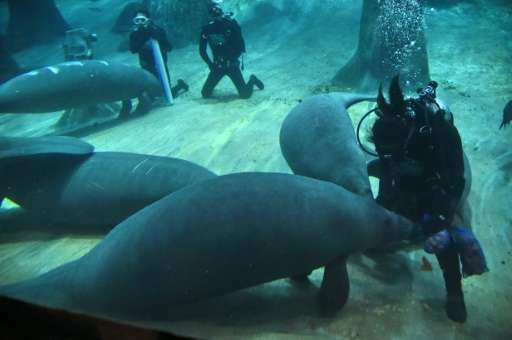 A gentle creature which can grow to up to 4.5 metres (15 feet) in length, manatees' natural habitats are warm coastal waters, ma
