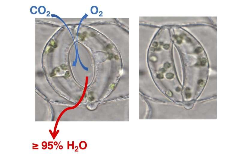 Un aminoácido controla el aliento de las plantas.