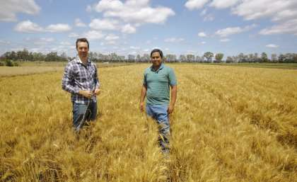 Ancient genes to protect modern wheat