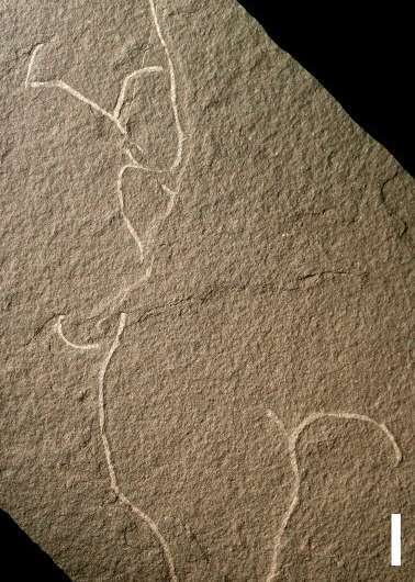 Ancient seaweed fossils document some of the oldest multicellular life