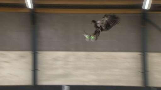 An eagle brings down a drone for Dutch police