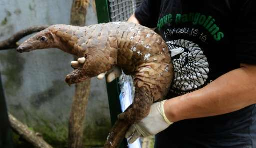 An estimated one million pangolins have been plucked from Asian and African forests over the past decade