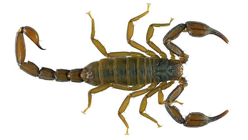 A new scorpion from California reveals hidden biodiversity in the Golden State