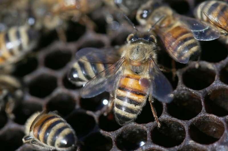Another species of Varroa mite threatens European honeybees