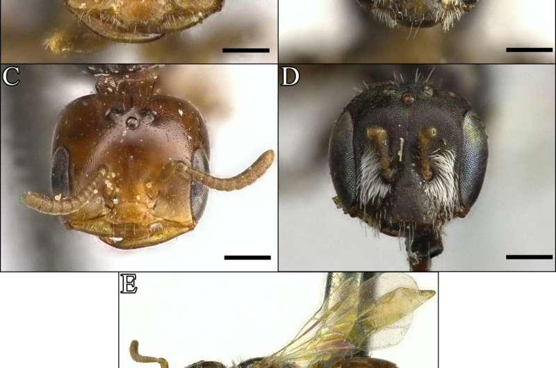 'Ant-like' species of the desert bee genus Perdita