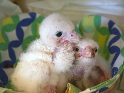 A photo released on January 27, 2016 by the Chilean Agricultural and Livestock Service (SAG) shows albino peregrine falcon chick